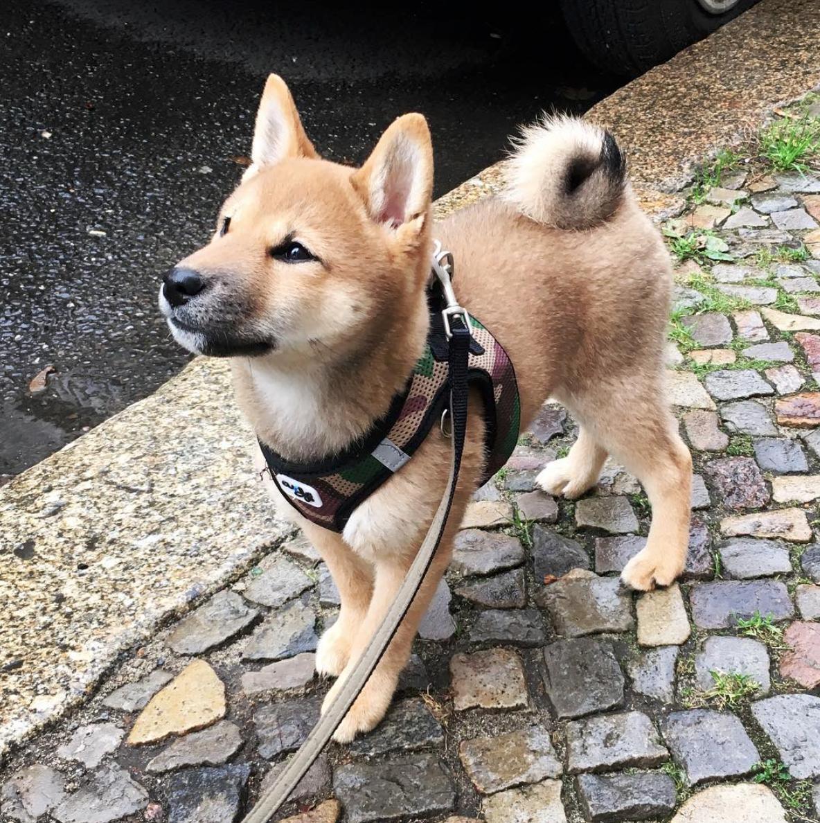 ▷ Das Leben mit einem Shiba » shiba-inu.blog
